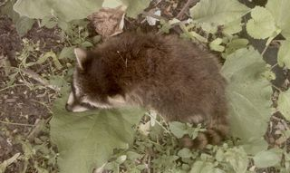 Baby Coon...already dead